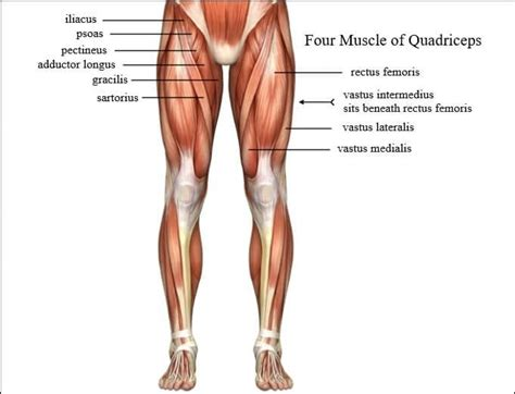Best Exercises for Perfect Quadriceps Muscles